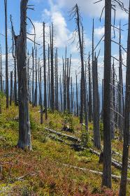 Dead Burned Tree Standing Among New Seedlings