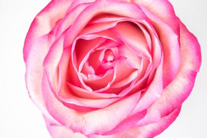 薔薇(バラ)・上アングル・白背景(白バック)