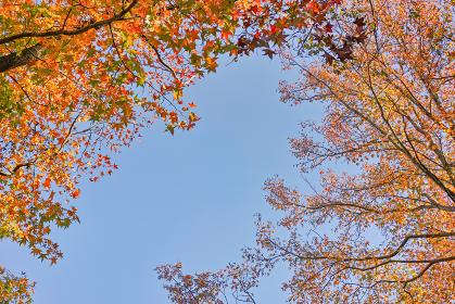 青空背景の下から見上げた二本のモミジバフウの紅葉