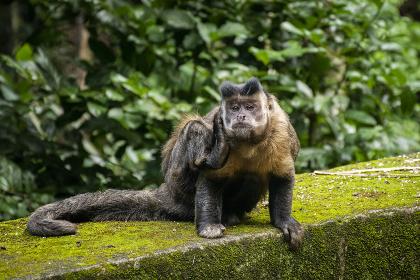 Capuchin Monkey scratching ear on green rainforest landscape