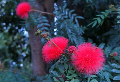 丸いブラシのような赤い花(台湾)