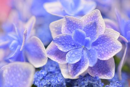 紫陽花(こんぺいとう)の花