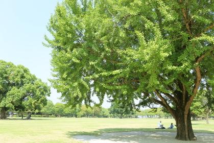 大きなイチョウの木の下で涼む人々