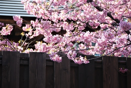 和風の塀と河津桜