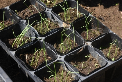 家庭菜園の玉ねぎ種まきと発芽