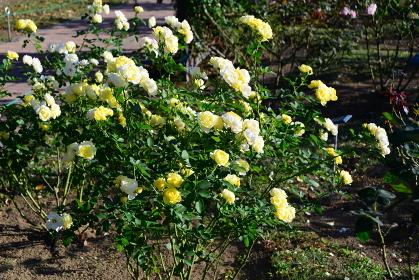 黄色のバラは花言葉に注意