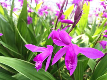 シランの花