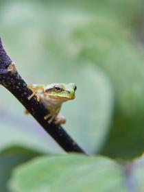 茄子の枝を登り周囲の様子を伺うニホンアマガエル