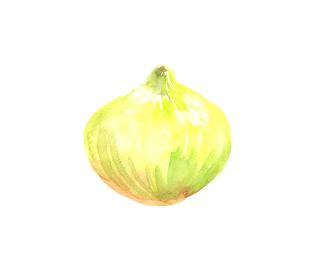 水彩で描いた玉ねぎのイラスト