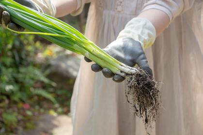 家庭菜園で出来た小葱の収穫をする女性