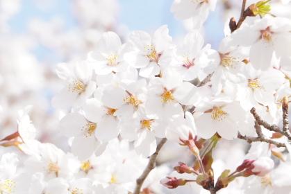 満開の桜のクローズアップ