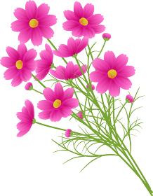 ピンクのグラデーションのコスモスの花束、カットイラスト、秋イメージ