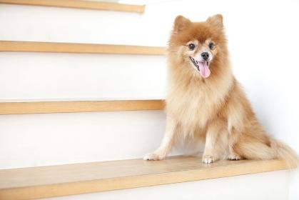 階段でおすわりをするポメラニアン