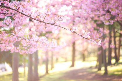 明るい桜の写真