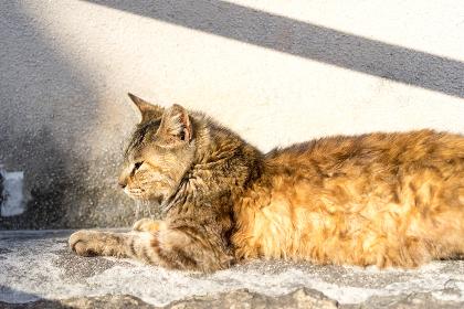 塀の上に寝そべるのら猫(日本・広島・尾道)