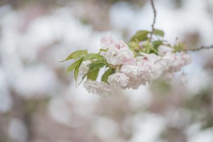 盛りの八重桜 4月