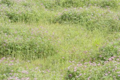 桃色のシロツメクサの野原