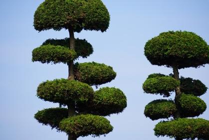 剪定されている松の木
