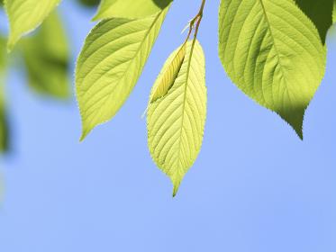 新緑のサクラの葉