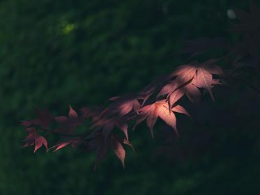 新緑の季節の赤い花の楓 4月