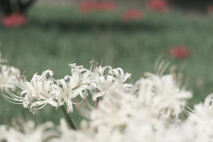 美しい純白の彼岸花