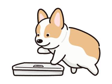 体重を測る太った犬 コーギー