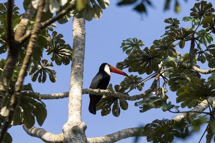 Toucan bird on the nature in Foz do Iguazu, Brazil