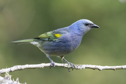Beautiful blue colorful bird in Atlantic Rainforest vegetation , Penedo, RJ, Brazil