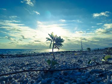石垣島の青空と水平線の中、朝日を浴びて輝くマングローブの苗木