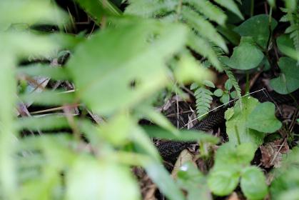 草むらに潜む蛇の胴体
