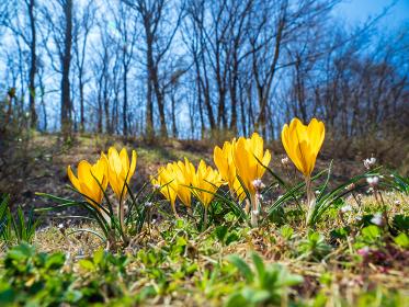 春の里山に咲くクロッカスの花 3月