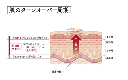 Cross section of the skin 6 front