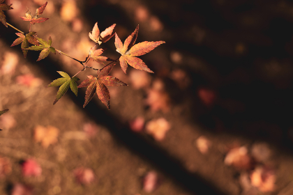 晩秋の風景 色づいたモミジ 11月