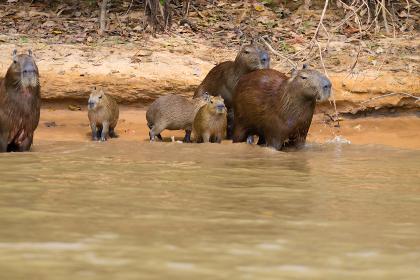 Herd of Capybara from Pantanal, Brazil