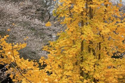 イチョウと四季桜