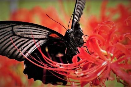 お彼岸の彼岸花の蜜を吸うナガサキアゲハ