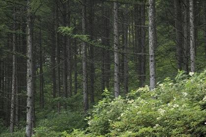 からまつ林とヤマアジサイ
