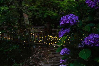 夏の夜を美しく飛び回るホタル