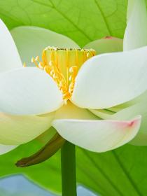 白い蓮の花びらのアップ
