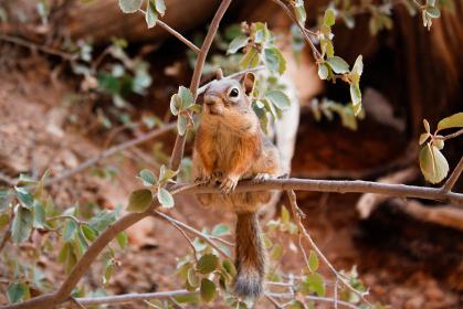 アメリカ・ユタ州にてブライスキャニオン国立公園に生息するリスが木の小枝で立ち止まる様子