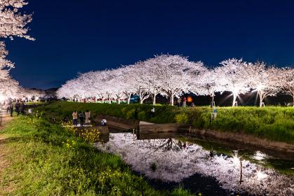 草場川の桜並木のライトアップ 福岡県筑前町