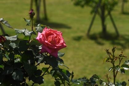 満開のバラ園のバラの花
