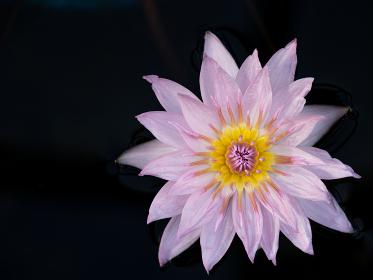 ピンク色のスイレンの花