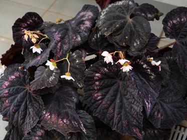 カラフルなベゴニアの葉