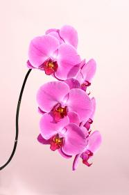 植物の写真:ピンクの胡蝶蘭 花のクローズアップ