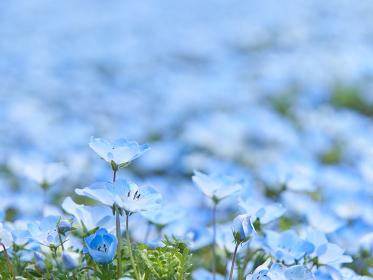 青色のネモフィラの花畑 クローズアップ