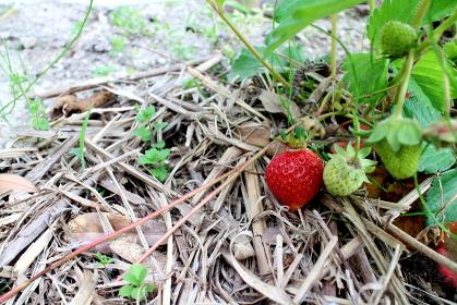 成長する家庭菜園のイチゴ