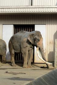動物ポートレート:大きな牙を持つオスの象 インドゾウ 動物園