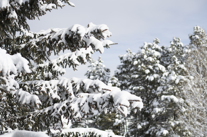 Pine tree branch covered in snow right after a fresh storm