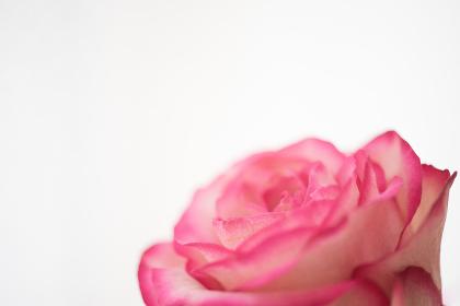 薔薇(バラ)・接写・白背景(白バック)